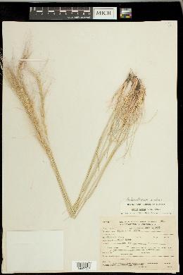 Achnatherum aridum image