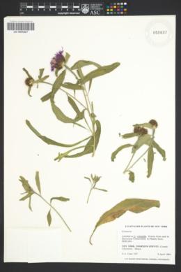 Image of Centaurea orientalis