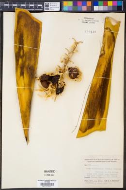 Yucca faxoniana image