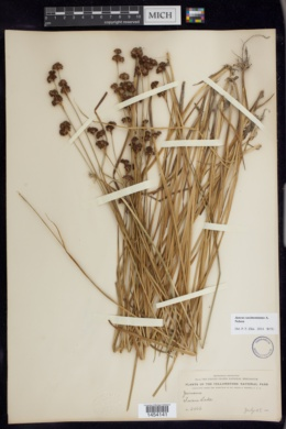 Juncus ensifolius image