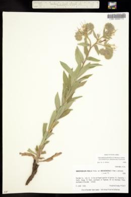 Onosmodium molle subsp. occidentale image