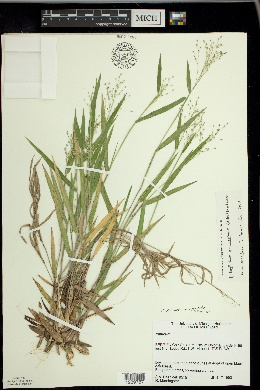 Image of Panicum commonsianum