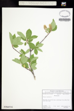 Prunus virginiana image