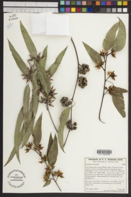 Eucalyptus rudis image