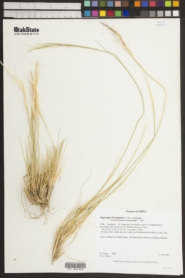 Image of Pappostipa chrysophylla