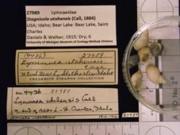 Stagnicola utahensis image