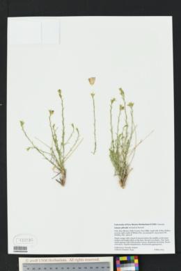 Image of Linum allredii