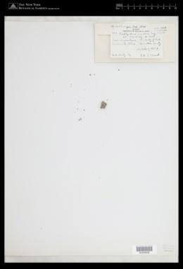 Porphyridium purpureum image