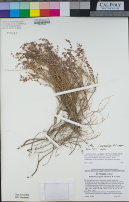 Image of Euphorbia jaegeri
