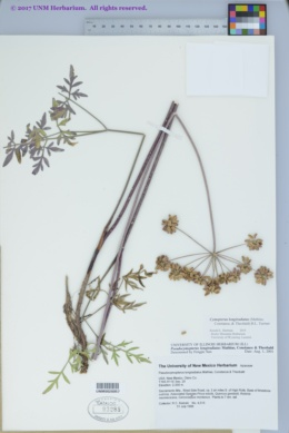 Image of Cymopterus longiradiatus