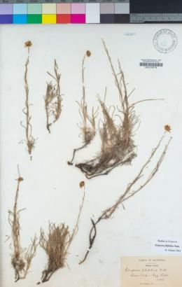 Erigeron filifolius image