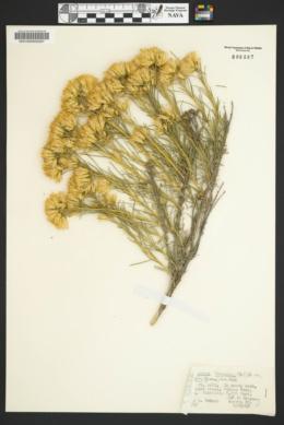 Ericameria nauseosa var. bigelovii image