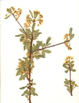 Prunus emarginata image