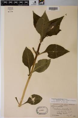 Triosteum aurantiacum var. illinoense image