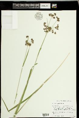 Image of Scirpus congdonii