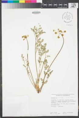 Image of Lomatium torreyi