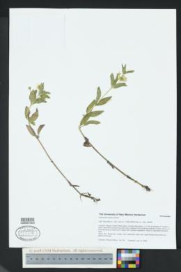 Lysimachia hybrida image