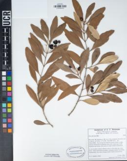Olea africana image