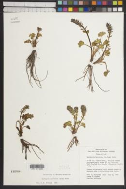 Synthyris laciniata image