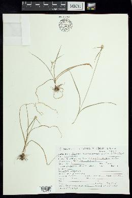 Image of Cyperus michoacanensis