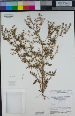 Eucrypta chrysanthemifolia image