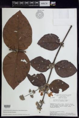 Peixotoa reticulata image