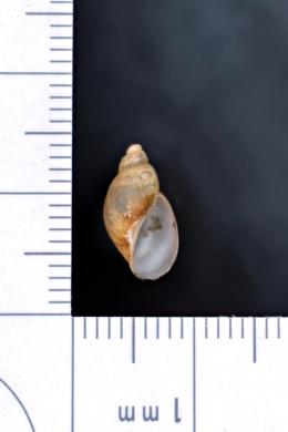 Image of Stagnicola arctica