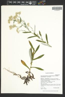 Pseudognaphalium pringlei image
