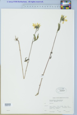 Helianthus petiolaris subsp. fallax image