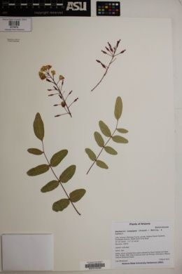 Berberis longipes image
