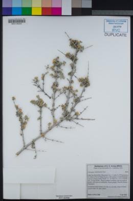 Image of Coleogyne ramosissima
