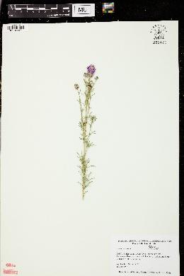 Dalea purpurea image