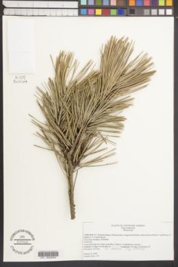 Image of Pinus heldreichii