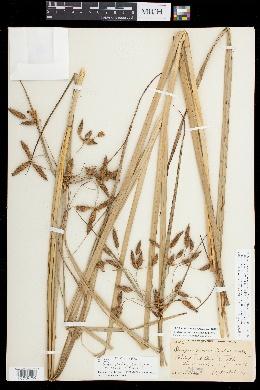 Image of Bolboschoenus novae-angliae