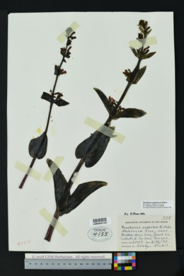 Penstemon superbus image