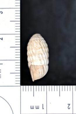 Cerion uva image