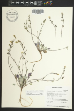 Physaria kingii image