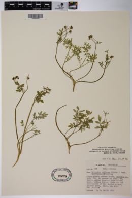 Erigenia bulbosa image