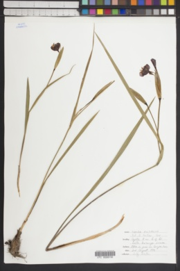 Tigridia multiflora image