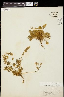 Image of Lupinus torreyi