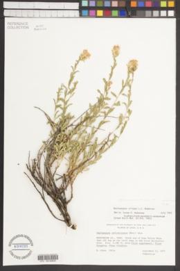 Ericameria crispa image