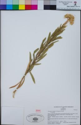 Ericameria parishii var. parishii image