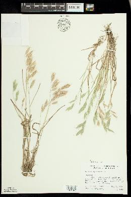 Bromus squarrosus image