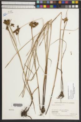 Bolboschoenus glaucus image