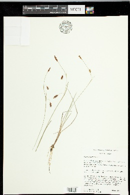 Image of Carex laxa