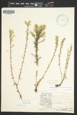 Symphyotrichum falcatum var. falcatum image