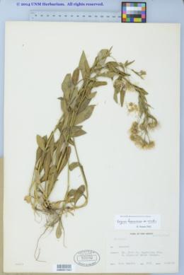 Erigeron formosissimus var. viscidus image