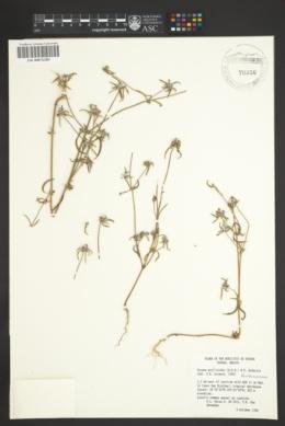 Crusea psyllioides image