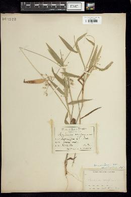 Image of Panicum deamii