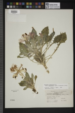 Oenothera cespitosa subsp. navajoensis image